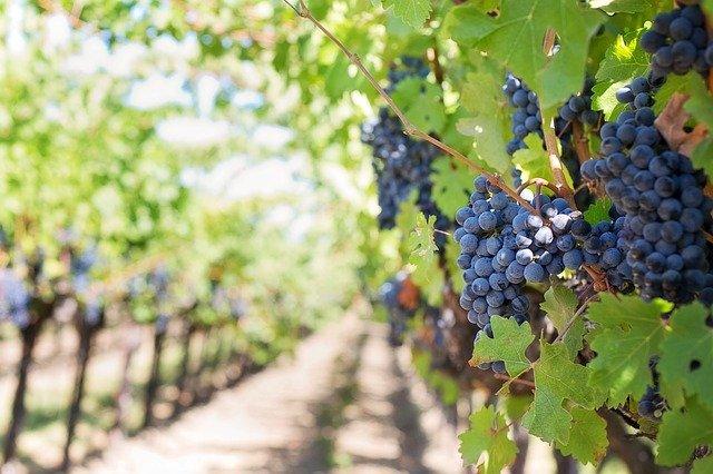 grapes-553462_640